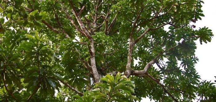 pohon-kemang-mangifera-kemanga